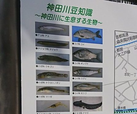 神田川には、アユ、マハゼ、スジエビ、ナマズがいるんだって!?